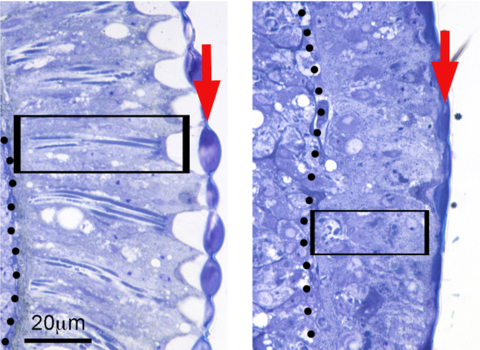 Flies expressing the toxic amyloid-β42 (Aβ42) peptide found in the Alzheimer's disease brain disrupt the organization of the retina, resulting in short photoreceptors (box) and fused lenses (arrow)