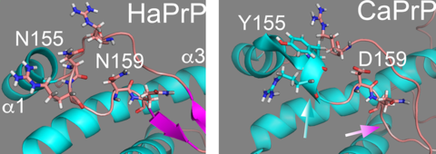 3D structure of the globular domain of the prion protein (PrP) from Hamster and dog .